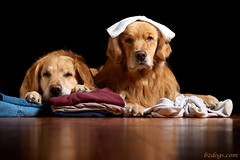Naughty or Nice? (bztraining) Tags: dog golden retriever henry laundry zachary ddc odc