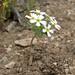 starcup, Gymnosteris nudicaulis (white form)