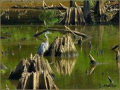 Great Blue Heron in a Cypress Swamp (Suzanham) Tags: nature water birds mississippi wildlife swamp waterfowl stumps greatblueheron noxubeewildliferefuge samhamiltonnationalwildliferefuge