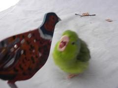 ....winner is Wee Pea (adore62) Tags: bird pheasant parrot parrotlet celestialparrotlet