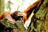 Captive to the world (Rupam Das) Tags: portrait face animal eyes nikon singapore flickr sad expression wildlife sigma ancestor orangutan d800 mournful 150500mm