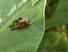 Leaf mjning beetles mating (DocJ96) Tags: mating chrysomelidae leafbeetles hispinae chrysomelidbeetles