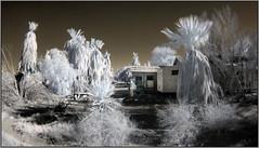 House in Palms (NoJuan) Tags: california olympus fisheye infrared daytrip californiadesert ep2 digitalinfrared fullframefisheye irconversion infraredconversion nilandca olympusep2 9mmfisheyebodycaplens 9mmbcl micro43infrared