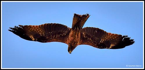 Common Buzzard-04