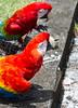 Guacamayos (rfuertesn) Tags: ave ara guacamayos