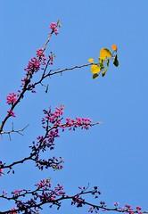 pink yellow blue (donjuanmon) Tags: pink blue leaves yellow cliches hss donjuanmon clichesaturdaysky