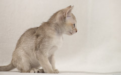 Singapura Kittens 103 (peter_hasselbom) Tags: cats cat kitten flash kittens onwhite singapura 8weeksold 105mm 2flashes