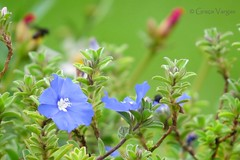 blue azul bleu ( Graa Vargas ) Tags: blue flower graavargas 2014graavargasallrightsreserved 28810230315