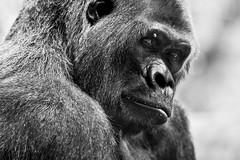 Loro Parque (mrs_fedorchuk) Tags: christmas parque santacruz nature birds canon spain honeymoon gorilla parrot christmastree aligator jungle crocodile tenerife puertodelacruz loro loroparque tenerife2014