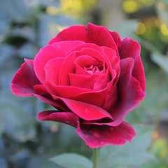 Kwiat (madrider512) Tags: red flower macro closeup petals bokeh kwiat patki