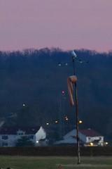 Snowy Owl at treeline (fergusonjlf) Tags: bird virginia dca nationalairport birdofprey snowyowl irruption buboscandiacus