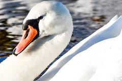 mb_14_9767.jpg (mambouwman) Tags: winter dieren engelen zwaan engelermeer