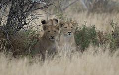 Do I have your attention? (Pete Foley) Tags: africa safari lions namibia etosha littlestories wildlifephotography etoshanationalpark overtheexcellence petefoley picswithsoul pinnaclephotography beautiesbeasts innovationblog petefoleyinnovation