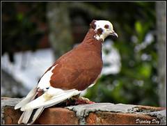 Pigeon (Dipalay) Tags: birds pigeon