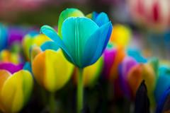 Colourful Tulips (siebe ) Tags: flowers blue flower holland netherlands dutch colours tulips bright bokeh nederland thenetherlands depthoffield flowerbed tulip colourful bloemen keukenhof tulpen kleur lisse 2016 siebebaardafotografie