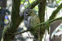 Sleepy Barred Owl (Maja's Photography) Tags: portrait canada nature closeup canon moss bc feathers barredowl naturephotography fantasticnature owlsbirds