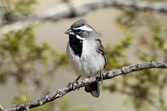 Amphispiza bilineata (Black-throated Sparrow). (Nick Dean1) Tags: california aves sparrow animalia birdwatcher passeriformes blackthroatedsparrow passerine amphispizabilineata thewonderfulworldofbirds birdperfect