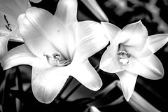 Lily glamour (raylincoln1) Tags: plants garden easter sony lilies a65
