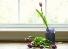 Tulip Arranging (nikagnew) Tags: pink sunlight window spring tulips desk stems backlighting purpleglassjar