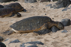 Maui (ArneKaiser) Tags: hookipa mauicollection turtles flickr