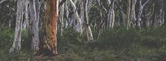 Scrub (StephEvaPhoto) Tags: tree gum australia nsw newsouthwales fullframe gumtree canoneos 6d scribblybark kangaloon scribblybarkgumtree canoneos6d canonef70200f40lisusm southernhighlandsandtablelands