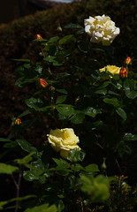 DSC_1578 Roses (PeaTJay) Tags: flowers roses plants macro nature rose gardens fauna outdoors reading flora micro closeups berkshire rosebuds lowerearley nikond750