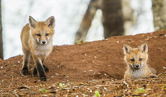 IMG_4852 Red Fox Kits at Play (Wallace River) Tags: novascotia kits playtime foxkits redfoxkits