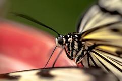 butterfly (http://www.jeromlphotos.fr) Tags: macro canon butterfly eos 100mm papillon serre 5dmarkii parcfloraldorlans