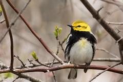 Black-throated Green Warbler (rdroniuk) Tags: birds blackthroatedgreenwarbler oiseaux smallbirds songbirds warblers passerines passereaux parulines parulinegorgenoire setophagavirens