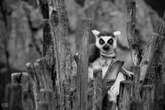 julien II (Noebus) Tags: blackandwhite bw byn blancoynegro nature animal animals mammal nikon natural lemur lemurs byw d3200