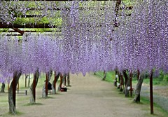 Wake Wisteria Park (jumbokedama) Tags: park roses wake bees fullmoon cherryblossoms camellia bumblebees wisteria japaneseroses plumblossoms japaneselanterns japaneseflowers moonpictures beesonflowers japanesescenery viewsofjapan rosesofjapan
