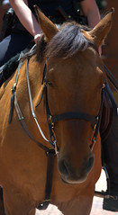 Police Horse (swong95765) Tags: horse animal ride police equestrian officer lawenforcement trained