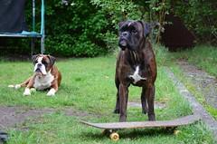 Karvased klalised (anuwintschalek) Tags: dog home garden austria spring hund gordon skateboard april boxer garten niedersterreich rula frhling kodu aed kevad 2016 wienerneustadt koer nikond7000 18140vr