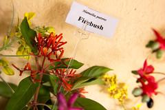 Firebush