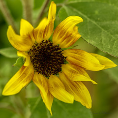 Sunflower (Tami Wohlever) Tags: arizona plant flower green nature phoenix yellow spring unitedstates outdoor yellowflower sunflower phoenixzoo springtime 2015 tamiwohlever