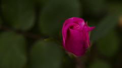 Canon FD 100mm F4 macro(_DSC5421) (gnuelkevin) Tags: flowers roses island spring buds staten 2016