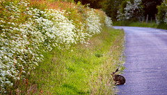 The Rolling English Road. (elam2010) Tags: road morning trees england green nature grass animal rural landscape lumix dawn countryside hare blossom panasonic lane wirral hedgerow brownhare gx7