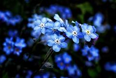 Delicate nature (Nige H (Thanks for 4.8m views)) Tags: blue flower broken nature delicate delicateflower detailmacrocloseup