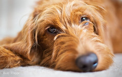 wileye (Rory Trappe) Tags: labradoodle duke ginger princeharry puppy the secret life pets gingerthe petswilf