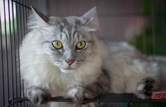 Big eyes (sydbad) Tags: cat 35mm big eyes sony siberian sonnar sonya7 ilce7 sel35f28z