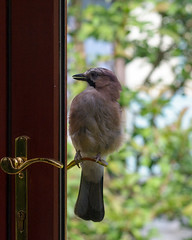Jay watching itself (tobyjm) Tags: reflection bird jay conservatory attacking
