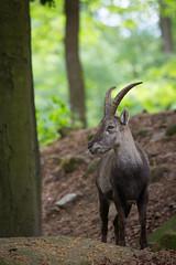 Ibex (Cloudtail the Snow Leopard) Tags: animal mammal tier pforzheim capricorn ibex wildpark steinbock capra sugetier