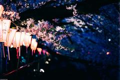 | Dusk Dressed Sakura () Tags: japan tokyo cherryblossom   meguro hanami    nightsakura  sonya7 batis1885 zeissbatis85mmf18