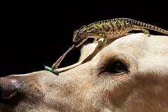 Chameleon On Dog (scott cromwell) Tags: dog tongue carpet nose lab labrador head eating reptile retriever lizard worm chameleon hornworm yellowlabrador furciferlateralis littledoglaughedstories