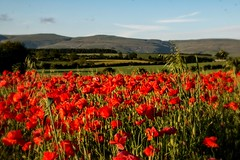 in among them (dingerd11) Tags: cumbria poppies pennines