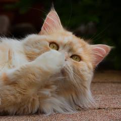 Oops, it's Monday again ! (FocusPocus Photography) Tags: pet animal cat chat linus gato katze haustier kater tier mondayface montagsgesicht