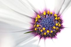 The inner circle (gallserud) Tags: flower daisy africandaisy marguerit stjrnga