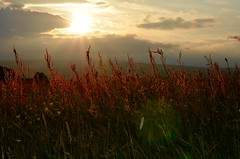 Fields of gold (garlick.rachel) Tags: sunset summer field grass gold dusk warmth grasses