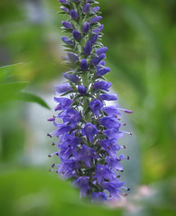 Veronica - Speedwell (mahar15) Tags: flower nature floral outdoors veronica bloom blueflower speedwell veronicaspicata