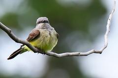 Yellow belly (Adam Wang) Tags: bird nature branch wildlife sundance ashcroft kingbird